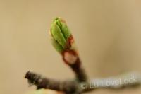 Leaf in bud