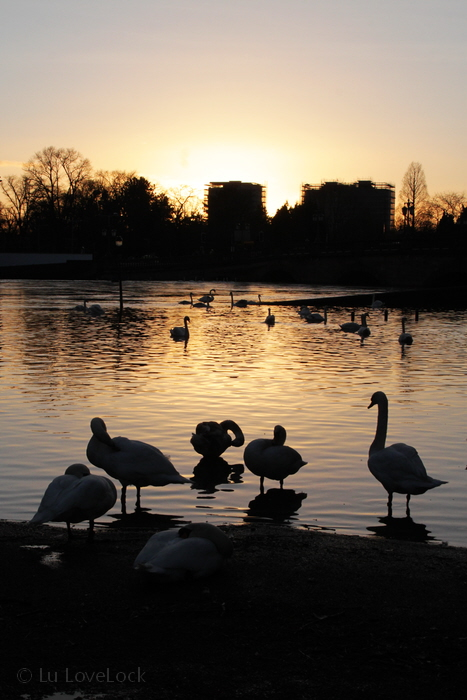 Swans resting in the light of dusk