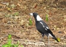 Australian Magpie (1)