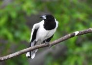 Butcher Bird (2)