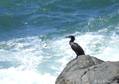 Cormorants (10)