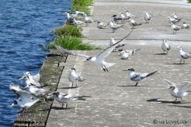 Tern (2)